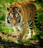 image of tigress  - Amur Tigers on grass in summer a day - JPG