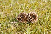 Two Pinecones In Green Grass