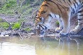 Amur Tiger (panthera Tigris Altaica) Drinking Water