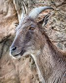 Himalayan Tahr On Rockface Looking Surprised