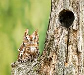 stock photo of nesting box  - Eastern Screech Owl perched on a dead tree stump - JPG