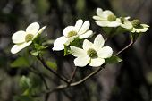 picture of dogwood  - Closeup on Flowers from a Pacific Dogwood tree - JPG