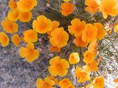 foto of xeriscape  - many Mexican poppies together - JPG