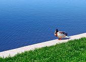 Duck Near The Lake