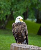 Sea eagle With White Head Standing