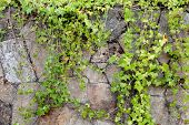 Stone wall covered with green climbing plants