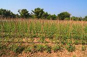 Yard long bean farm