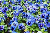 pic of viola  - viola tricolor pansy - JPG