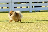 picture of miniature pomeranian spitz puppy  - A small young beautiful fluffy orange pomeranian puppy dog walking on the grass - JPG