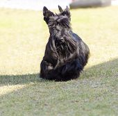 picture of scottish terrier  - A view of a small young and beautiful Scottish Terrier dog walking on the grass. Scottie dogs are compact short legged with wiry black coat long head and small erect pointy ears very territorial and feisty.