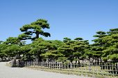 Japanese garden with pine trees