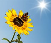 The Butterfly On A Sunflower
