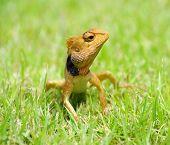 lizard strolling in the grass