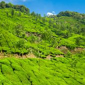 Beautiful fresh green tea plantation in Munnar, Kerala, India