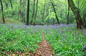 Bluebells in a wood
