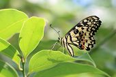 Lime Butterfly and green leaf