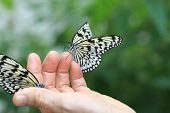 stock photo of nymphs  - Large Tree Nymphs butterfly,two beautiful butterflies on the hand,Paper Kite butterfly,Rice Paper butterfly