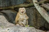 Pig-tailed Macaque (macaca Nemestring) Eating On The Rock