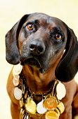 stock photo of bloodhound  - Bloodhound dog  with many medals in studio - JPG