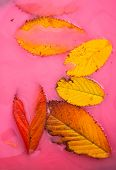 autumn leaves in pink water abstract