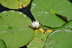 pic of gentle giant  - Bright and colorful Lilly pads embrace the gentle flower nestled within - JPG