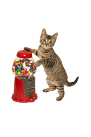 pic of gumball machine  - A little kitten stands up against a glass dispenser full of colorful round gumballs - JPG