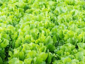 pic of endive  - Closeup of Endive or Cichorium endivia plants ready for harvesting - JPG