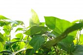 image of soybeans  - fresh green soybean plants in growth at field - JPG