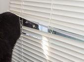 stock photo of cat-scan  - A watchful black cat peeks through window blinds alert for intruders - JPG