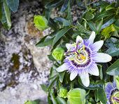 picture of passion christ  - passion fruit flower in a meadow in la spezia - JPG