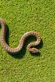 picture of green snake  - Closeup of a small snake on a green lawn - JPG