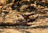 image of babbler  - beatiful White-browed Scimitar-Babbler (Pomatorhinus schisticeps) in Thai forest