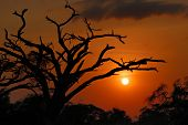 pic of dead plant  - Silhouette of a dead tree over dramatic red sunset in the african savanna Kenya Amboseli national park - JPG