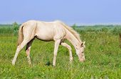 picture of foal  - The perlino akhal - JPG