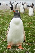picture of falklands  - Gentoo Penguin  - JPG