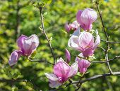stock photo of magnolia  - Magnolia flowers - JPG