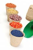 pic of rape-seed  - colored various sowing seed in paper pot - JPG