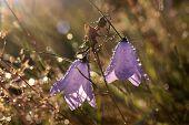 foto of harebell  - Bell flower  - JPG