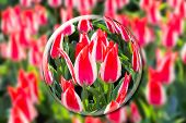 Постер, плакат: Crystal ball with red white tulips in flowers field