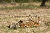 image of baby twins  - babies impalas twins lying donw in the bush - JPG
