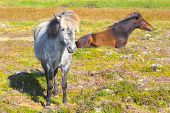 foto of iceland farm  - Two Icelandic horses - JPG