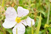 stock photo of cricket insect  - green cricket on the pink wild blooming flower - JPG