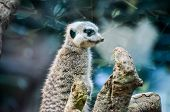 stock photo of african animals  - Small Brown Carnivore African Mammal Animal Suricata