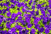 foto of petunia  - beautiful blooming purple petunia flowers background closeup - JPG