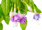 foto of pompous  - blooming beautiful twig of purple and white fuchsia flower is isolated on white background  - JPG
