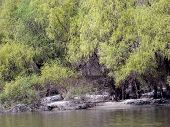 stock photo of willow  - Flowering willows are mirrored in the river water .   They slapped willow buds after warm days of spring. - JPG