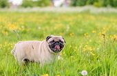 picture of pug  - A Cute female pug at a photo session in a park - JPG