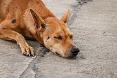 pic of homeless  - Brown homeless Thai dog sleep on the side street - JPG