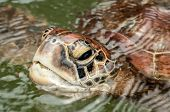 picture of green turtle  - A close up view of the head and face of a Green Sea Turtle in a sanctuary at Zanzibar - JPG