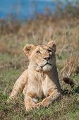 stock photo of saharan  - I lioness lies in the short grass on a hill inside the Nogorongoro Crater in Tanzania while looking up in the air in front of her with an intense consentration in her eyes - JPG